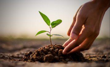 cara menanam pohon trembesi di lingkungan rumah, tips menanam pohon trembesi