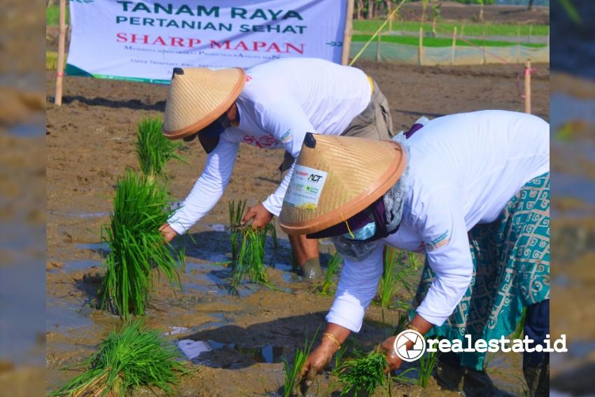 Penanaman Benih Unggul di Kecamatan Jatisari, Karawang  Timur. (Foto: Sharp Indonesia)